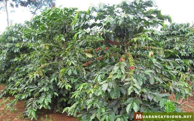 Hình ảnh cây cà phê chè coffea arabica
