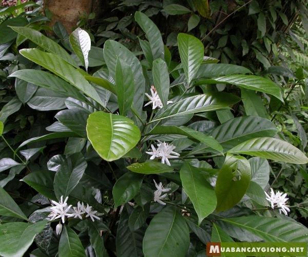 Hình ảnh cây cà phê mít Coffea Liberica