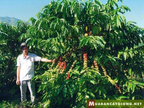 Hình ảnh cây cà phe vối -Coffea Robusta - Canephora