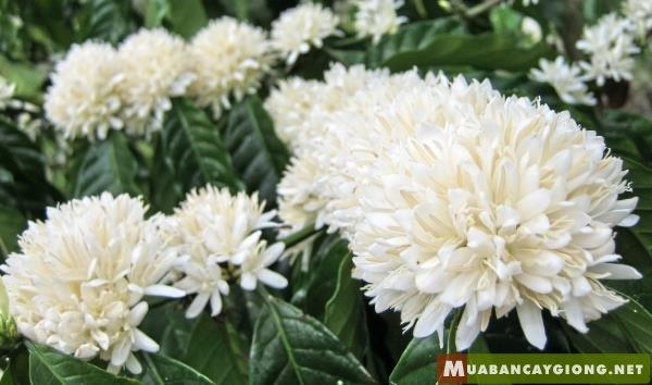 Hình ảnh hoa cà phê