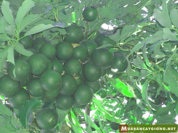 Hình ảnh cây bơ Reed trĩu quả (giai đoạn kinh doanh)