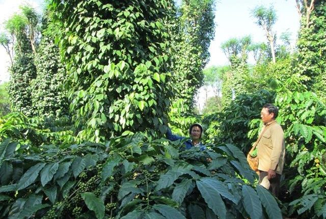 mô hình trồng tiêu xen cà phê hiệu quả