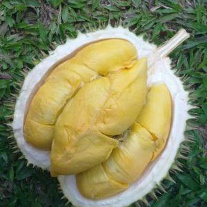 Giống sầu riêng Maylaysia Musang King
