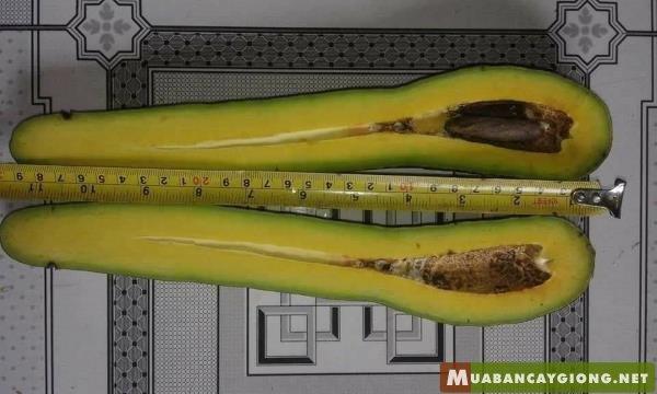 Giống bơ 034 trái dài không hạt (hạt rất nhỏ)