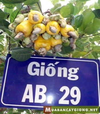 giong_dieu_ab29_dieu_ghep_cao_san