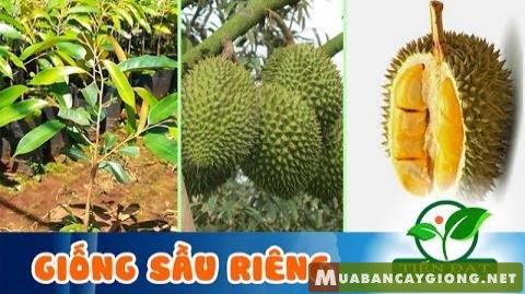 Giống sầu riêng Thái Lan