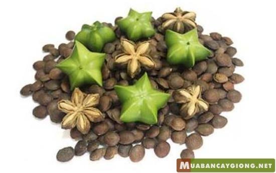 Quả và hạt cây sachi - Vua của các loại hạt