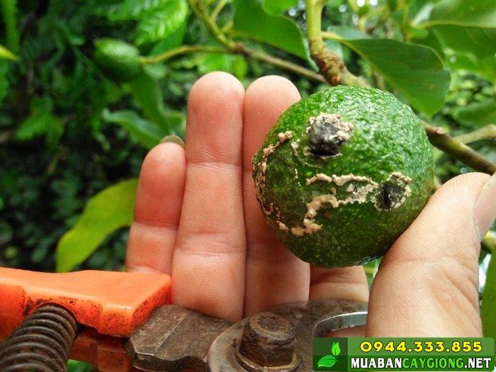 Các loại côn trùng chích hút thường làm cho trái non bị rụng - Nguồn: Hội nông dân trồng bơ Việt Nam