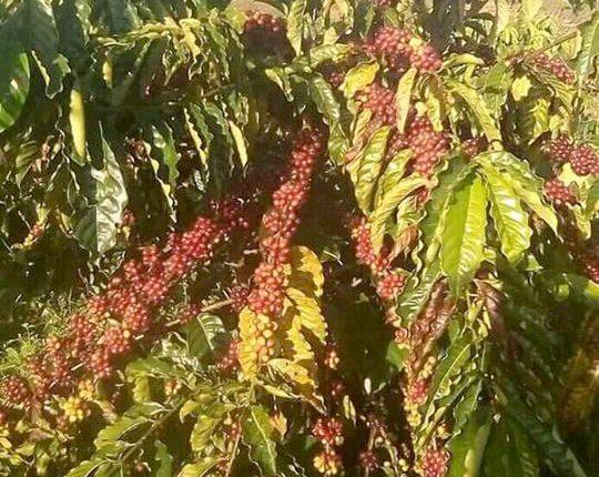 Giống cà phê TR5 (Cà vối cao sản viện Eakmat – Năng suất 5-6 tấn/hecta)